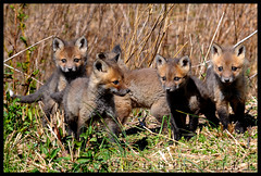 All 5 Fox Kits (Nikographer [Jon]) Tags: animal animals lenstagged md nikon 5 five wildlife maryland easternshore national wetlands april marsh jpg nikkor blackwater 2008 apr refuge nationalwildliferefuge nwr d300 80400mmf4556dvr specanimal marylandseasternshore blackwaternationalwildliferefuge bnwr nikond300 redfoxkits 20080402d30018186 tcf11