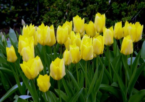 tulipsyellow