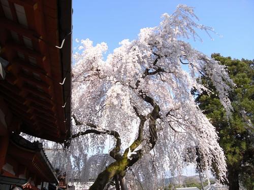 氷室神社(しだれ桜)-05