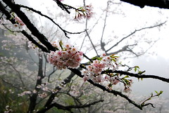 DSC_0301 (weilian) Tags: taiwan sakura 2008 阿里山 alishan 櫻花