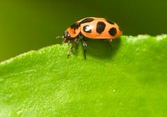 EdgeWalker (olvwu | ) Tags: usa ga georgia leaf ladybug savannah ladybeetle jungpangwu oliverwu oliverjpwu pinkspottedladybeetle olvwu jungpang