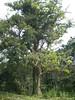 96.11.16竹崎鄉光華村茄苳風景區內的茄苳老樹DSCN3186