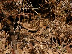 Sisilisko (talaakso) Tags: lizard ödla lisko lacertavivipara viviparouslizard sisilisko zootocavivipara skogsödla