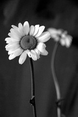 harmony (dayseven) Tags: flowers two bw blackwhite harmony innocence daisy fragile purity oxeyedaisy indoorshot