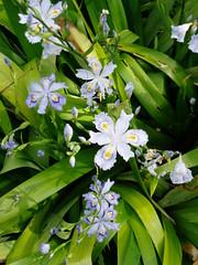 Iris japonica v. pallescens