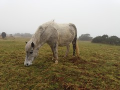 Dartmoor pony (Karen Warren1) Tags: dartmoor dartmoorpony pony