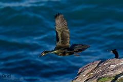 Cormoran huppé (Oric1) Tags: 22 canon cormoran côtesdarmor france armorique bif breizh bretagne brittany capfrehel eos flight huppé labous jeanlucmolle ornithologie ornithology bird watching oric1 oiseau