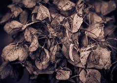 Awaiting Spring's Renewal (EXPLORED) (Katrina Wright) Tags: dsc0330 hydrangea leaves decay bw nostalgia dead shrivelled
