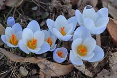 In Bloom (kendoman26) Tags: flower crocus bloom sonyalpha sonyslta58 sonya58 sonyphotographing sal30m28 macro closeup