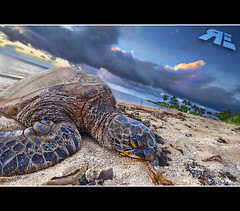 Get Out of My FACE!!! (Ryan Eng) Tags: ocean blue trees sunset sky beach water closeup hawaii sand oahu turtle profile explore northshore honu haleiwa frontpage dri blending sigma1020mm aliibeachpark nikond90 vertorama ryaneng