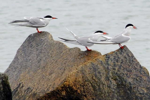 tern rock