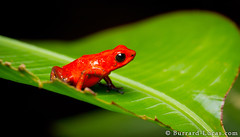 Strawberry Poison-dart Frog (Burrard-Lucas Wildlife Photography) Tags: red leaf costarica frog strawberrypoisondartfrog
