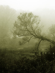 Crooked (curious_spider) Tags: autumn mist tree fog sepia haze stream swamp crooked damp sideways humid dense quakertown murk mywinners abigfave superaplus aplusphoto superhearts growingwrong