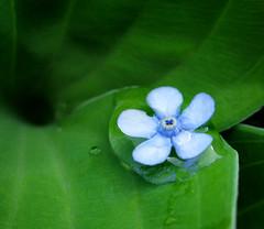 Quiet endurance (Gary*) Tags: flower macro water garden bravo forgetmenot soe xoxoxo eow magicdonkey seachthebest lovephotography gtaggroup anawesomeshot superbmasterpiece infinestyle haveawonderfulweekenddearfriend