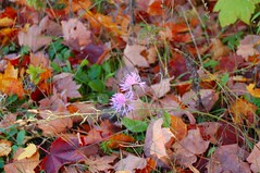 DSC_1553 (danieljohannsson) Tags: statepark flower fall leaves wisconsin doorcounty whitefishdunes