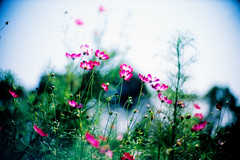 living for today (moaan) Tags: life leica autumn flower 50mm october dof bokeh bluesky f10 imagine flowering noctilux johnlennon cosmos upward leicam7 2007 m7 hopeful rvp fujivelvia naturesfinest aboveusonlysky fullofhope explored fujirvp inlife leicanoctilux50mmf10 bokehwhores liveinhope nohellbelowus gettyimagesjapanq1 gettyimagesjapanq2