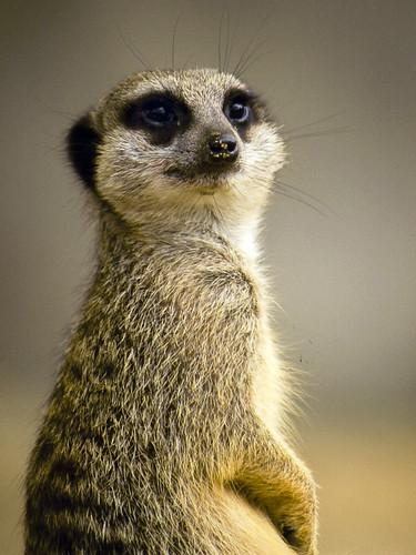 Cute Pose or just a Meerkat?