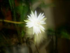sei lá é bromelia lindona, sei lá o nome dela, ela é meia amarelada, não consigo tirar uma foto dela cedente, o talo mede uns 20cm a flor não passa de 8cm, mais só da flor a noite bromelia nilgazzola (nilgazzola) Tags: brasil de foto sp fotos ou com nil minhas tirada maquina echapora gazzola nilgazzola