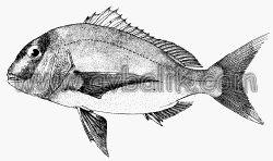 2055437232 3d96d94d57 mercan balığı nasıl avlanır