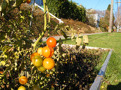 Autumnal tomatoes