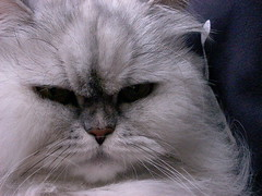 Meow! (sunnyd4y) Tags: white animals cat sguardo meow miao gatto bianco fibrisse catnipaddicts