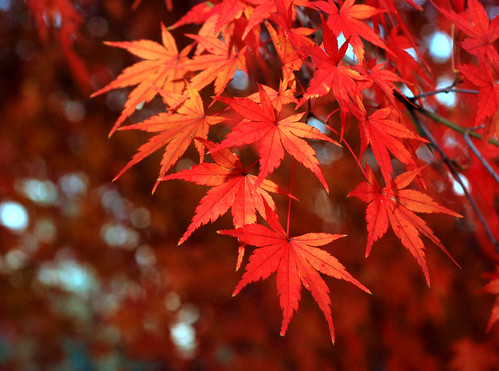 japan japanesemaple acerpalmatum mywinners excellentphotographerawards イロハモミジ いろは紅葉 鶏爪槭 dsc4593b