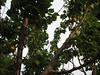 Apricots (Fossil Freak) Tags: tree apricot mossyrocks
