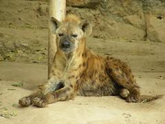 San Antonio Zoo - Spotted Hyena (cerdsp) Tags: sanantonio zoo texas hyena zoos sanantoniozoo spottedhyena