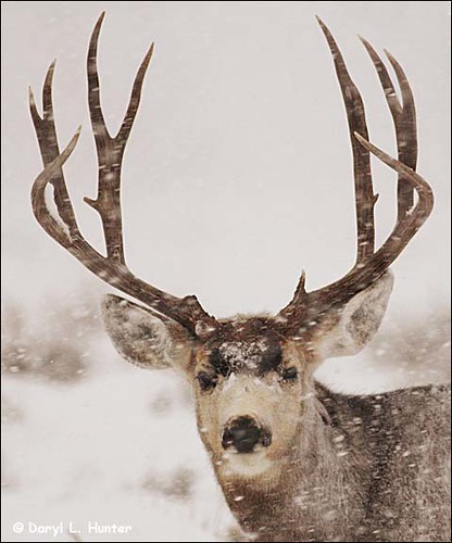 Pics Of Deer In Snow. Trophy Mule Deer Buck in snow
