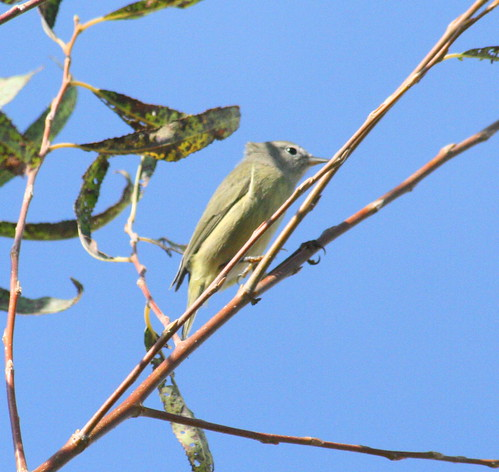 orange-crowned warbler (1)