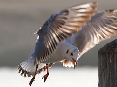 Gabbiani (E-System) Tags: nature olympus uccelli acqua excellence volare naturesfinest specnature abigfave avianexcellence zuiko70300