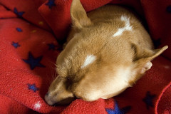 trying to sleep (tomas raul) Tags: dogs nappy napoleon