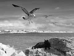 Cdiz (Gaspar17) Tags: sea bw seagulls birds cat mar gull pjaros gato cdiz gaviotas hunt caza bwdreams eos400d superbmasterpiece
