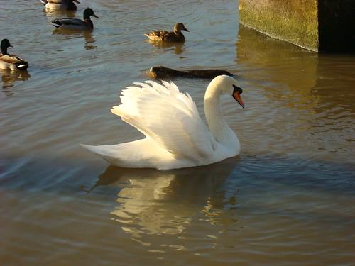 Photo swan