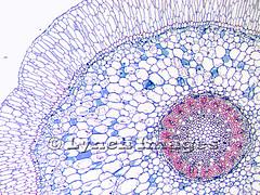 Orchid Velamen 1-1 (L) (Lynch Images) Tags: orchid cross ground orchidaceae grains root epiphyte section cortex pith vessels xylem phloem starch epidermis monocot magnoliophyta angiosperm meristem liliatae velamen vitalized adventitious endodermis pericycle amyloplasts protostele primordium branchroot procambium polyarch multipleepidermis