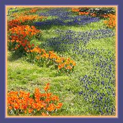 A Road to Happiness (Kuzeytac) Tags: blue orange flower color colour macro green nature turkey geotagged purple trkiye turkiye istanbul makro geotag mor leyla bahar iek yeil lsi lale gulhane portakal doa tabiat meneke hercai turkishtulip kuzeytac copyrightedallrightsreserved aqualityonlyclub