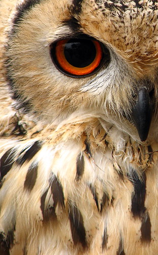 indian eagle owl / woolybackviks