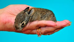 A Wild Baby in Good Hands (Jeff Clow) Tags: wedding cute bunny fur hand young ears whiskers rings newborn fingernails supershot jeffrclow