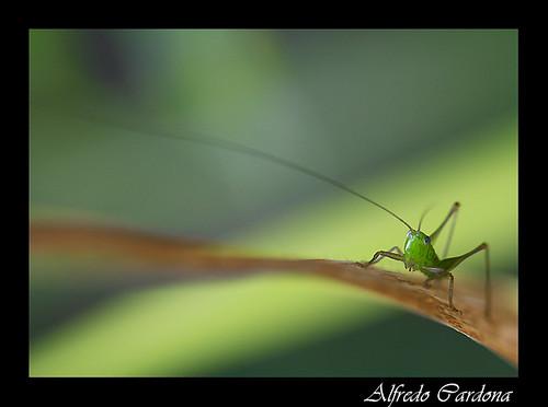 Saltamontes (Grasshoppers)