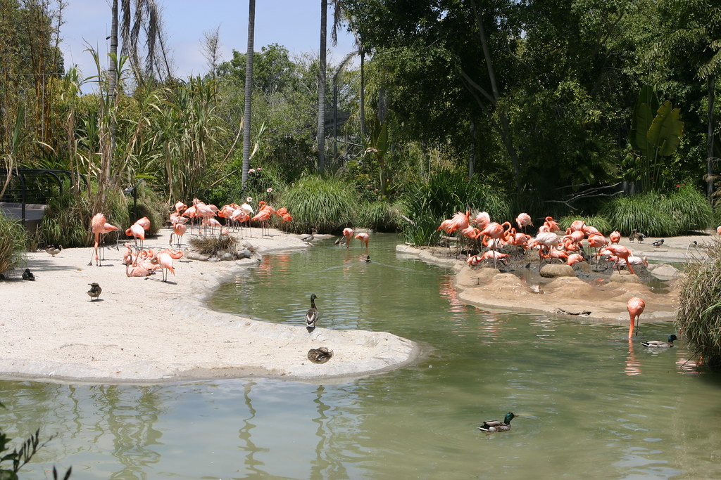Caribbean Flamingos & Mallard Ducks