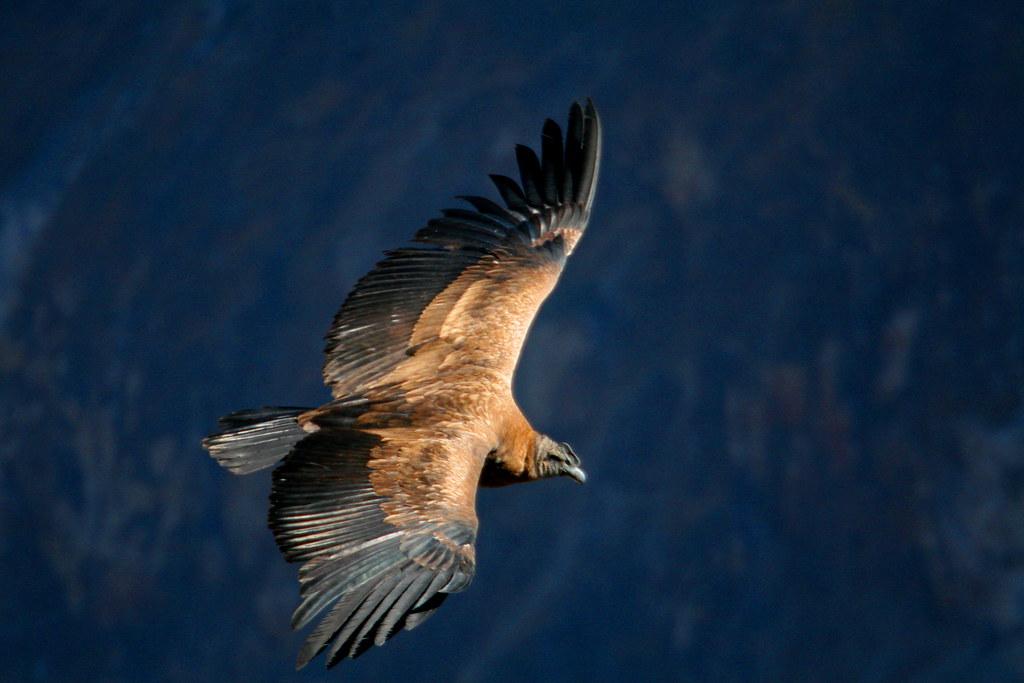 The mighty condor of Peru