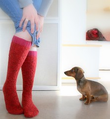 The incorruptible critic examines the socks (Vilman) Tags: red dog socks puppy knitting knit miniaturedachshund interweaveknits kneehighsocks kneehigh favoritesocks hertta onlinesupersocke100 annbudd undulatingribsocks
