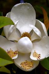 Magnolia Up Close (joel8x) Tags: white flower sc nikon charleston magnolia magnoliaplantation d40 aplusphoto