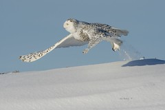 SNOWY OWL - 01ab (AIR BUS) Tags: snowyowl owls raptors birdsofprey birdsinflight alexborbely birds avian nature wildlife