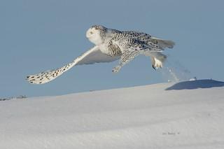 SNOWY OWL - 01ab