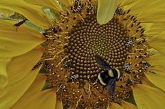 Mamangava e larvas-angorás (série com 5 fotos) (Parchen) Tags: mangangá mamangaba mamangava mangava mangangava matacavalo abugão nomecientífico polinizador polinizadora polinizando inseto bombus abelhasolitária foto fotografia imagem registro parchen carlosparchen