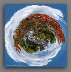 FLAMBOYAN. (manxelalvarez) Tags: flamboyan flamboyant delonisregia árbolestropicales