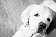 Tommy-2009-425bw (Rouxby Fine Art Photography) Tags: dogphotography clumberspaniel dogphotographer denverdogphotography rouxbyfineartphotography