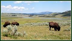 Hayden Valley (Waldek & Lidka) Tags: vacation nature animals river wildlife valley yellowstonenationalpark bison picnik haydenvalley