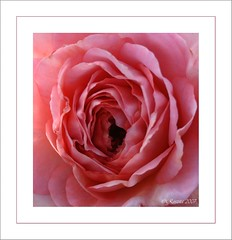 PINK CRUSH (Roszita) Tags: pink red macro rose photo petals creative crop blush soe excellence peopleschoice instantfave flowerotica mywinners abigfave shieldofexcellence aplusphoto superbmasterpiece diamondclassphotographer flickrdiamond top20pink floralexcellence scarletrose77 everydayissunday theperfectphotogrpaher flickrrelax